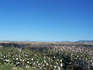 Cotton fields near Arcos