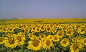 Sunflowers near Lebrija in full bloom